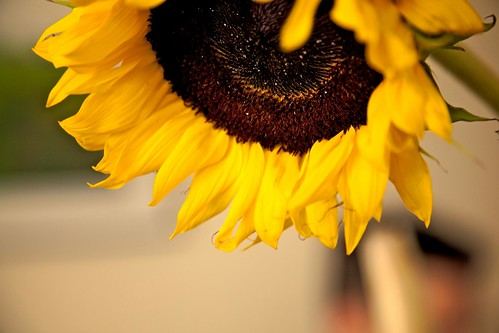 sunflower series
