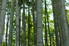 Bamboo forest, Kyoto. (Fredrik) Tags: trees japan forest kyoto bamboo