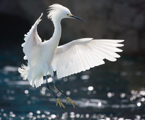 The White Winged Wonder