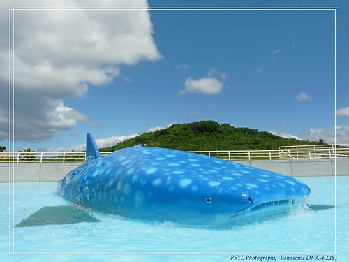 Whale Shark (Rhincodon typus) - 鲸鲨