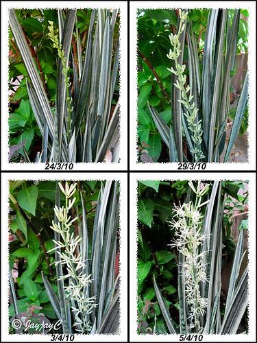 Blooming stages of Sansevieria trifasciata 'Bantel's Sensation' (White Sansevieria)