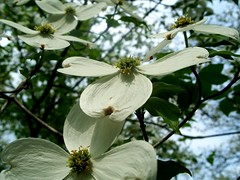 fun angle on dogwood