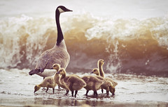 Gaggle (aaross) Tags: morning waves goose 300mm goslings shore lakeontario canadagoose 420mm d700 14teleconverter photogodfrey