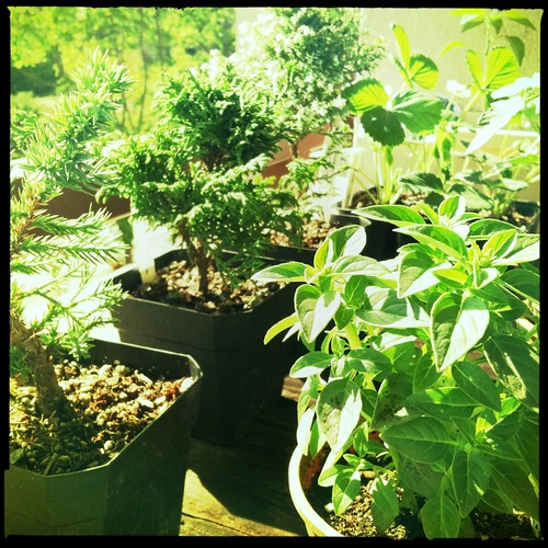 Tyler's bonsai trees and my vegetable plants
