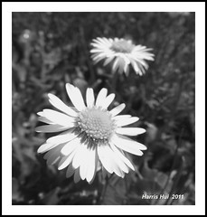 Daisy Close Up S1106e (Harris Hui (in search of light)) Tags: flowers bw canada macro monochrome closeup vancouver daisies square mono blackwhite fuji bc sunny richmond sidewalk daisy overexposed fujifilm digitalbw pointshoot sunnyday flowercloseup macrophotography closerandcloser supermacromode digitalcompact sunnyweather s1600 fujis1600 sunnyweekend beautyinthemundane squarecomposition harrishui vancouverdslrshooter macroinbw beautyonthesidewalk