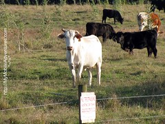 IMG_0158-White-Cow-No-Trespassing-Fort-Myers-Florida-01-18-2009
