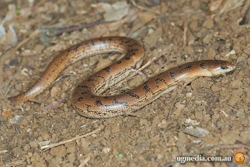 Coeranoscincus reticulatus