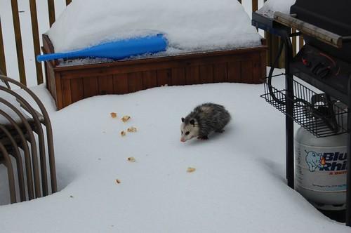 Whoa, possum!