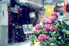 Snowkehs (ShanLuPhoto) Tags: travel flowers winter vacation snow bokeh korea seoul  insadong rok