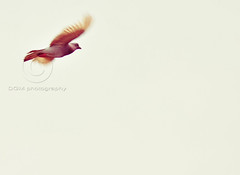 Flying (Kuya D) Tags: bird nature flying dove space philippines 300mm negative tgif pinoykodakero nikond300