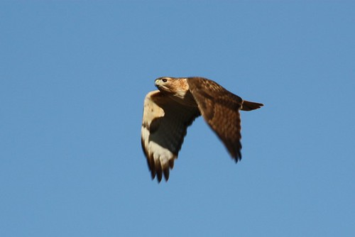 Red-tailed Hawk - 1/20/2009