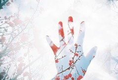 plum blossoms on my hand (chant0m0) Tags: plant flower film japan analog spring lomo lca colorful peace hand kodak nagoya doubles  ektar100