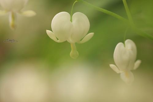 タイツリソウ(白)