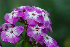 my garden-10 (gabriel_flr) Tags: flowers flores blossoms grapes trauben campina blten fleures flori struguri