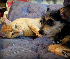 Noah and Barbie (PaperBouquet of Mars) Tags: noah dog cats yorkie cat barbie kitty terrier kitties catanddog terriermix yorkiemix