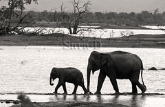 Mother & Son (Sara-D) Tags: bw nature monochrome forest canon tank wildlife mother son elephants srilanka motherson naturesfinest canon100400l udawalawe blackwhitephotos asianwildlife eos400d wildelephants masterpiecesofphotography wildsrilanka