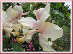 Unknown Hibiscus rosa-sinensis in white, pink and cream at Cactus Valley in Cameron Highlands, July 2009.