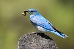 Mountain Bluebird (Ann Kerwin) Tags: barn wildlife yellowstone wyoming grandteton mountian mormonrow bighorncanyon 62109grandteton