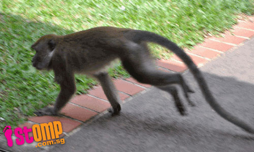 Monkey business in Toa Payoh