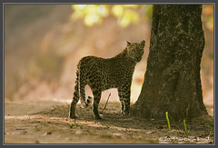 Indian Leopard ~ Kanha Tiger Reserve (The Eternity Photography) Tags: india tourism nature animal forest canon mammal nationalpark asia wildlife safari leopard bigcat jungle predator 2009 sanctuary wildlifesafari digitalphotography gamedrive madhyapradesh kanhatigerreserve carnivora kanha badrinath felidae centralindia indiatourism wildlifephotography wildindia indianwildlife kanhanationalpark incredibleindia iloveindia savethetiger kanhawildlifesanctuary visitindia natureislovely indianleopard santanubanik theeternity savethewildlife pantherapardusfusca madhyapradeshtourism     leopardinthewild badrinathkanha kanhatrip iloveindianwildlife    wwwfrozenforeternitycom leopardontheroad centralindiaforest