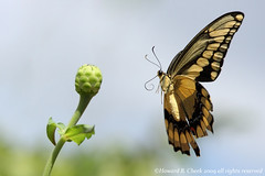Come Back Later.. (HowardCheekPhotography.com) Tags: nature giant fly flying inflight texas action wildlife butterflies insects papilio swallowtails naturesfinest defendersofwildlife cresphontes specanimal winnerbc photocontesttnc10