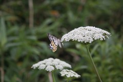 移り気な蝶ですね
