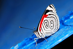 Eighty-Eight (asnyder5) Tags: blue anna color macro nature animal butterfly bug insect nikon rainforest wildlife moth conservation honduras andrew lepidoptera spots jungle zebra cloudforest elm biology snyder breathtaking centralamerica insecta eightyeight cusuco nymphalinae operationwallacea opwall soapberry topseven specanimal merendon flickrdiamond biblidinae andrewsnyder breathtakinggoldaward cusuconationalpark flickraward callicorini breathtakinghalloffame diathreiaanna diathreia asnyder5