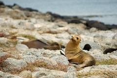 Sealions (mmoborg) Tags: ocean water animal animals ecuador vila galapagos resting sealion vatten 2007 hav djur sjlejon galapagosisland mmoborg mariamoborg