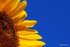 Sun in the sky (hartp) Tags: blue summer sky brown flower color nature colors sunshine yellow d50 catchycolors garden nikon natural sommer natur himmel gelb sunflower braun blau blume garten farben sonnenblume sonnenschein helluva goldenglobe welltaken hartp hartp94315 wowiekazowie people´schoice macromix spiritofphotography qualitypixels