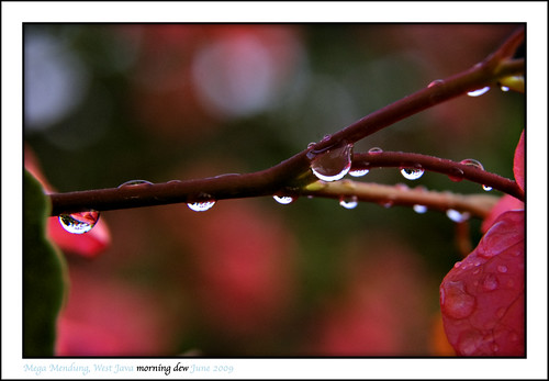 morning dew
