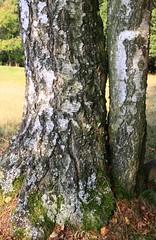 (:Linda:) Tags: autumn two germany thringen village herbst thuringia bark trunk autumnal rinde birke birchtree baumrinde borke herbstlich brden birkenbaum