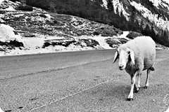 I am coming (A.G.S.) Tags: bw white black sheep pentax slovenia ags twotone szlovénia k200d