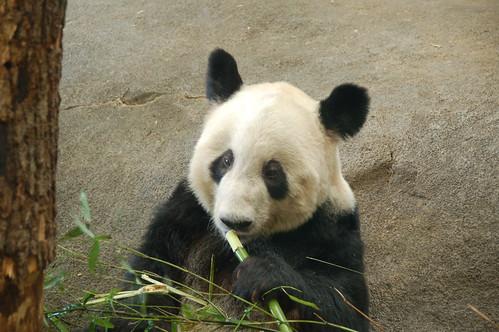 Memphis Zoo: Panda
