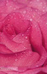 Pink & Drops (Morphicx) Tags: pink plant flower color macro nature netherlands rose closeup garden droplets leaf petals drops action bokeh 100mm petal ish dew 5d leafs f28 strobe ilovebokeh strobist oflash bokehwhores bokehwhore cinnamonrose cinnamonroseaction