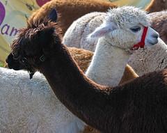 SoMD Llamas 1