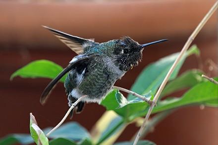 Anna's Hummingbird 1009u1-8