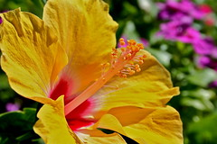 sunlit hibiscus (manywinters) Tags: flower sunshine yellow hawaii maui hibiscus lahaina