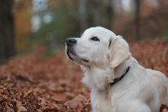 And now the wind smells like winter (}~T~{) Tags: autumn winter tree fall leaves goldenretriever canon puppy 50mm golden leaf bokeh 14 retriever autumnleaves smell lanscape goldenretrieverpuppy thesmellofwinter
