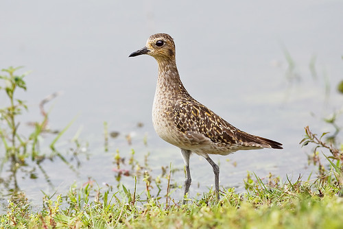 Pacific Golden Plover - 金斑鸻 1