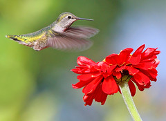 Anna's Hummingbird and Zinnia (janruss) Tags: flower bird floral hummingbird zinnia avian annashummingbird greatphotographers colorphotoaward avianexcellence natureoutpost thesuperbmasterpiece 100commentgroup saariysqualitypictures janruss janinerussell magicunicornverybest magicunicornmasterpiece mygearandmepremium mygearandmebronze mygearandmesilver mygearandmegold mygearandmeplatinum mygearandmediamond artistoftheyearlevel3 artistoftheyearlevel4 artistoftheyearlevel5 artistoftheyearlevel7 artistoftheyearlevel6