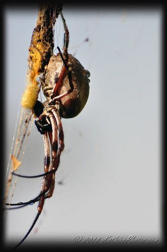 Orb spider in the garden