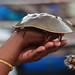 Crab that helped get three Nobel prizes