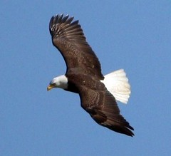 Bald Eagle (skyliner72) Tags: usa bird sc nature eagle wildlife birding baldeagle southcarolina raptor americaneagle birdwatching haliaeetusleucocephalus birdsofprey birdwatcher summerville lowcountry nationalemblem