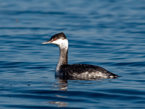 Grebe on Blue