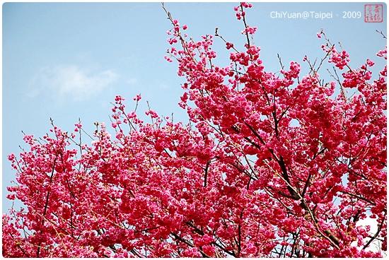 花卉試驗中心山櫻花01