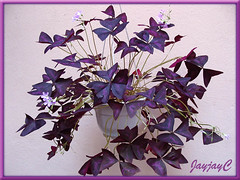 Oxalis triangularis spp. Triangularis (Purple Shamrock, Purple Leaf Shamrock) at our courtyard, February 2009
