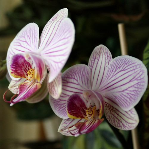 Purple Orchid 5