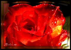 Candy Apple Red by J.Everhart ( julev69  1,500,000+ Views- THANK YOU!) Tags: flowers redrose soe brightred rosesarered flowerphotos flowerphotography brilliantred anawesomeshot flowerphotographer citrit abovealltherest jeverhart julev69