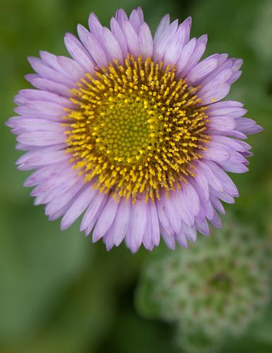 Seaside Daisy Flower