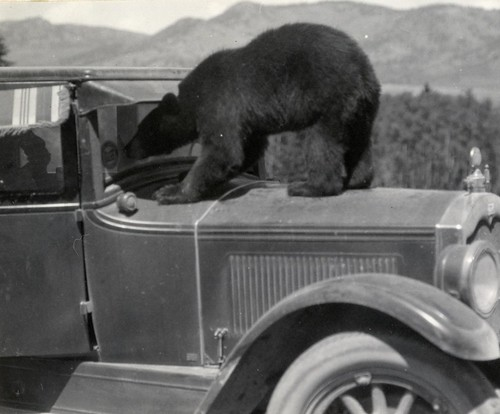 Black Bear Staring Into 1920's Automobile (Ca. 1930)